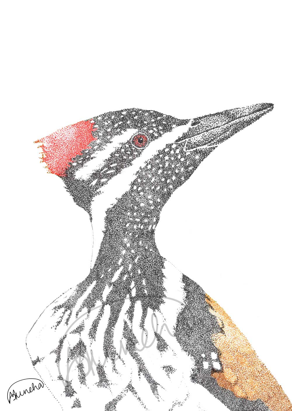 Woodpecker_profile_whiteBG